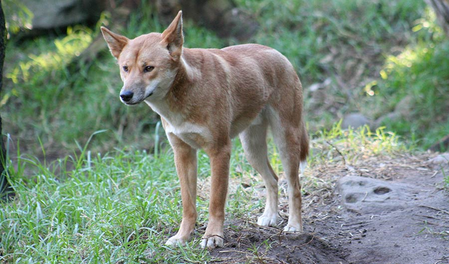 BRIEF: Like Dogs, Dingos Make Eye Contact With Familiar Humans - Short story about a new study discovering that dingos were the first dogs to bond with humans. For Inside Science News Service.