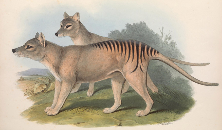 BRIEF: Scientists Reveal Genetic Secrets of Tasmanian Tiger - Short story for Inside Science News Service about their lack of genetic diversity and their convergent evolution with dogs.