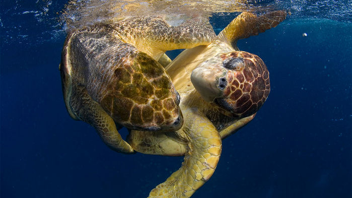 Promiscuous female sea turtles may save their species from climate change - A short story for Science magazine about new research presented at the 2018 Society for Integrative and Comparative Biology meeting in San Francisco, California.