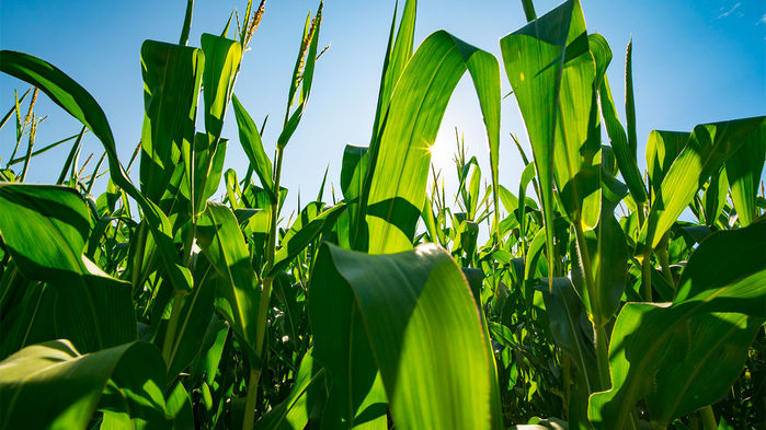 The United States' Corn Belt is making its own weather - Story for Science magazine about a new study that claims agriculture in the midwest is causing temperature to drop and rainfall to increase.
