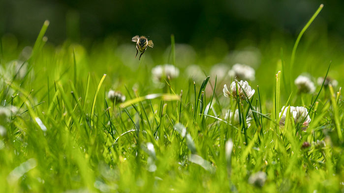 Bees love the lawns of lazy homeowners - Short story for Science Magazine about a new study finding that mowing your lawn every two weeks instead of every week means your lawn will attract 30% more bees! This is a simple and effective way to support a healthy ecosystem.