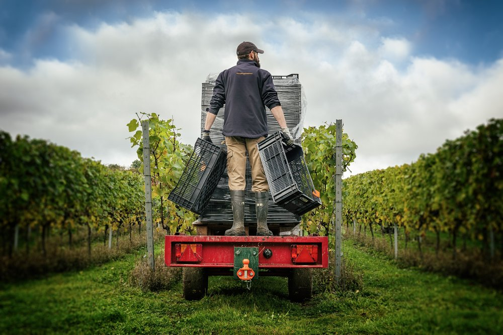 Hattingley Valley Harvest - James Matyear laying out in Cottonworth vineyard_The Electric Eye.jpg