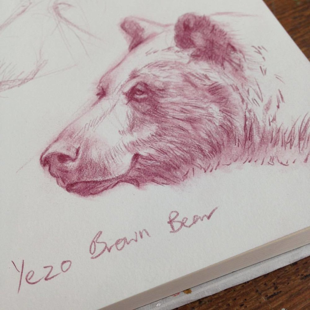 """Yezo brown bears were very important to the Ainu people, the indigenous people of Hokkaido, who worshipped them as mountain gods (kimun kamuy).""  https://best.visit-hokkaido.jp/nature/experience/yezo-brown-bears/   Doing some research for my next Oracle card depicting the Ainu people of Japan 🇯🇵 and the bears that they worshipped #ainu #japan #bears #oraclecards #drawing #illustratorsoninstagram #july2018 #belindaillustrates #blueangelpublishing #jadesky #sketchbook"