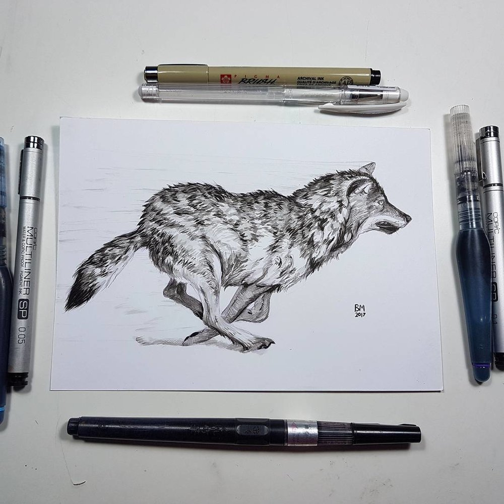 """Running wolf study for first prompt """"swift"""" on the Inktober challenge list. Available for purchase - send me a PM if interested. Materials used include fine Aqua brushes filled with Talens Indian ink and water, Copic multiliners (both are left and right of picture), Pigma brush and white uni-ball gel pen (top) and Zig brush pen on the bottom. Paper used is Daler Rowney Bristol board.  @inktober #inktober #belindaillustrates #inktober2017"""