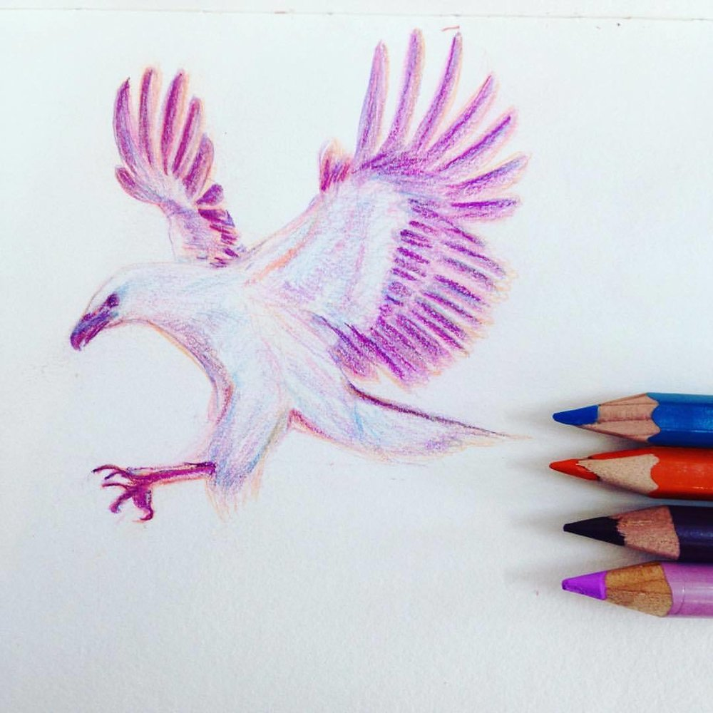 Drawing of a white eagle about to leap on its prey #belindaillustrates #pencils #pencil #drawing #prismacolor #eagle #flyingeagle #eagledrawing #whiteeagle #sketchbook #sketch #sketchtember #sketchtember2016 #bird #pink #purple