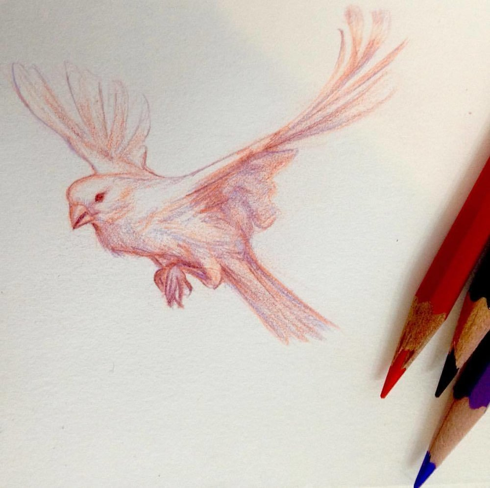 Little canary in flight. Drawn in Prismacolor Col Erase pencils Vermillion, Tuscan Red and Lavender #september #septembird #sketchtember #2016 #prismacolor #prismacolorpencils #colerasepencil #colerase #instagood #illustratorsoninstagram #sketchbook #sketch #bird #canary #birdinflight #belindaillustrates