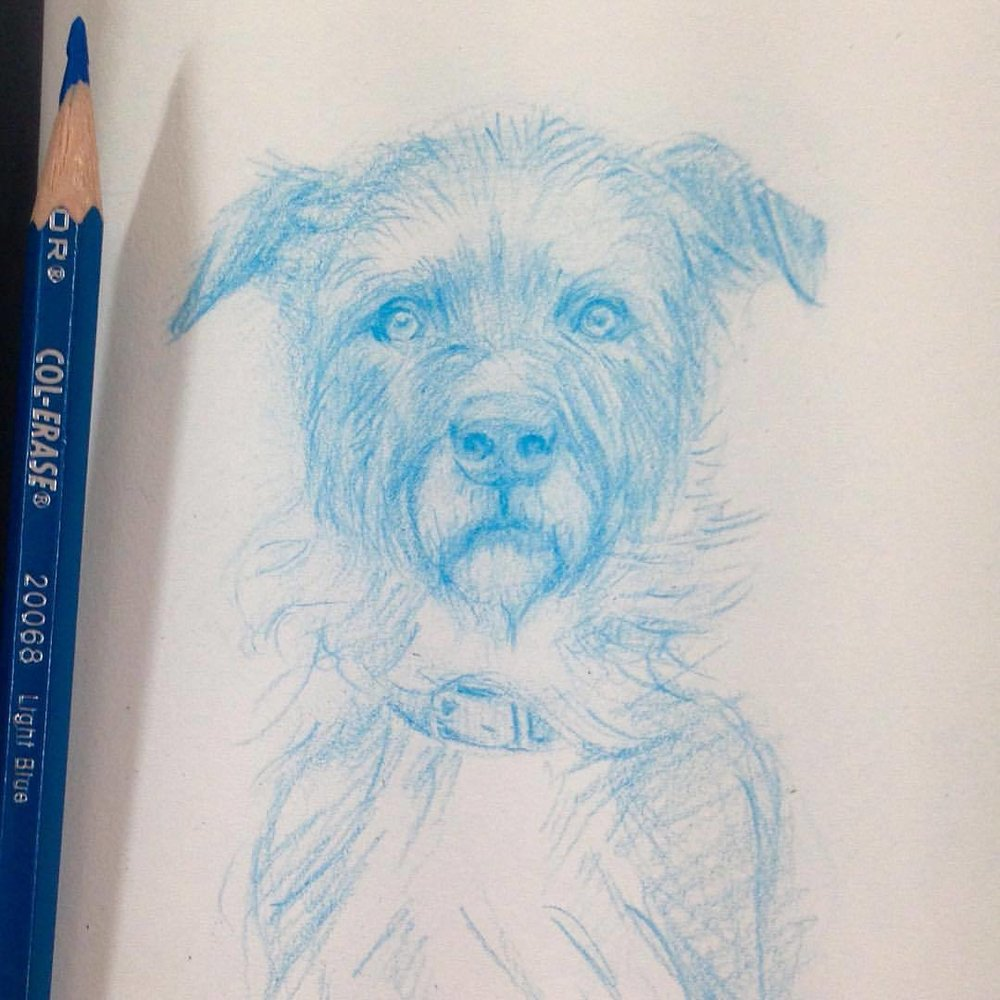 """""""Rescue"""" Wilson Dubz is a Staffy X Wolfhound and is available for adoption here  https://www.petrescue.com.au/listings/475986  #petrescue #wolfhound #staffy #crossbreed #sketch #sketchbook #prismacolor #pencils #belindaillustrates #2016  #august #mustlovedogs #illustratorsoninstagram"""