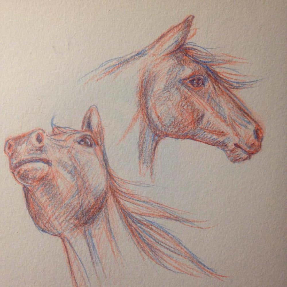 Horse studies in pencil #colerasepencil #prismacolor #horses #horsesketch #sketch #pencil #belindaillustrates #2016 #horseheads