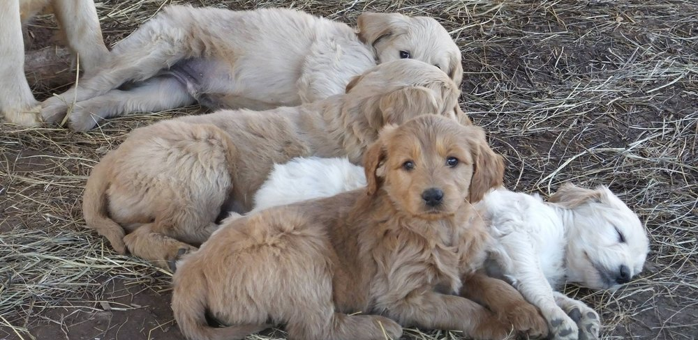 Goldendoodle And Irish Doodle Puppies For Sale Near Nashville Tn