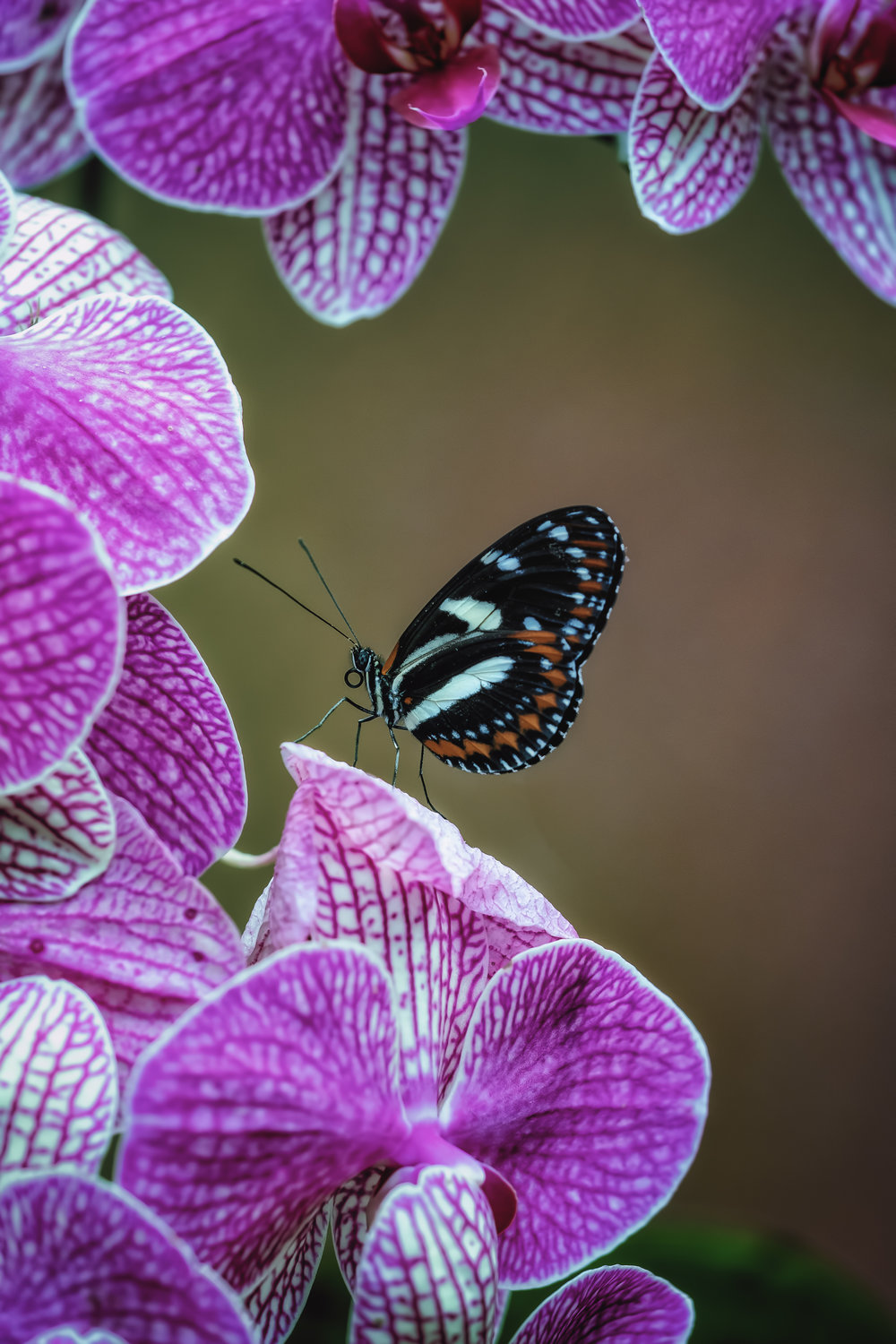 Butterfly with Orchids - Fujifilm X-T3, 1/125 @ f/4.0, ISO 400, 80mm macro. Shot at Mariposario de Mindo; a butterfly garden in Mindo, Ecuador.