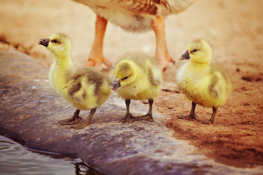 goslings 115.jpg