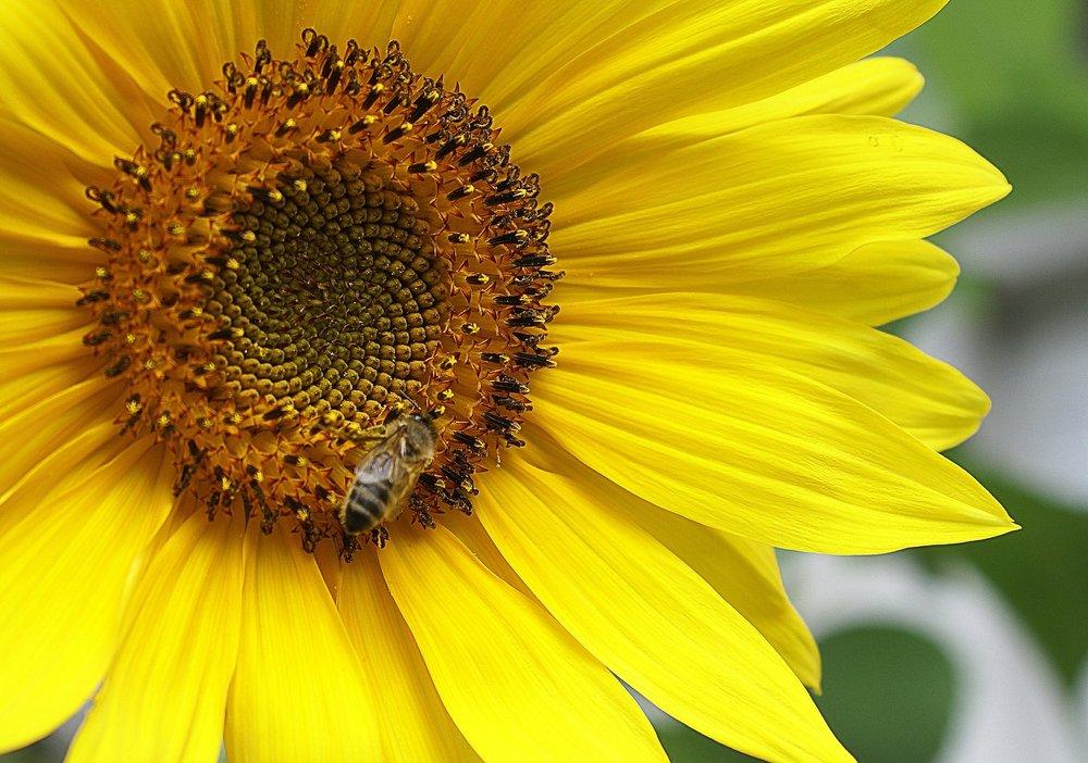 sunflower-405279_1920.jpg
