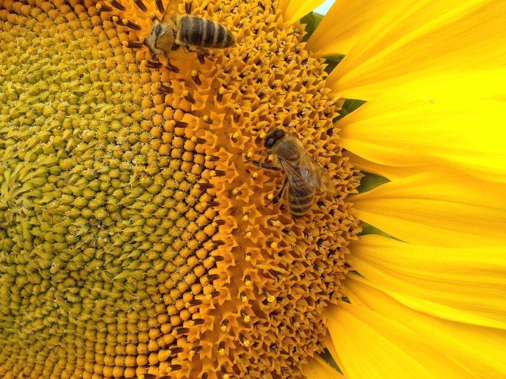 sunflower-1015206_1920.jpg