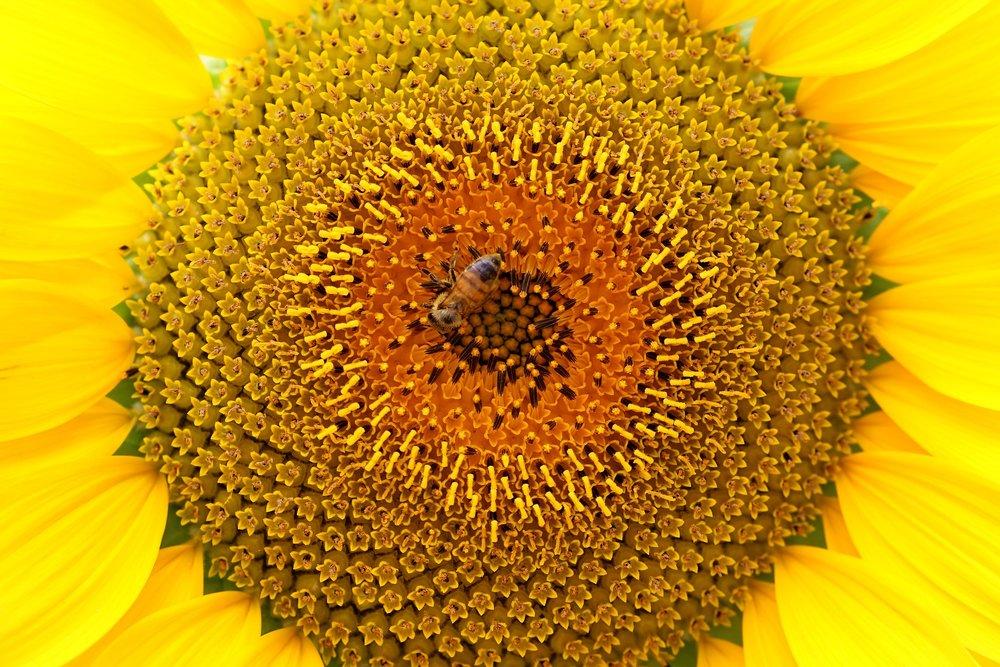sunflower-2337321_1920.jpg