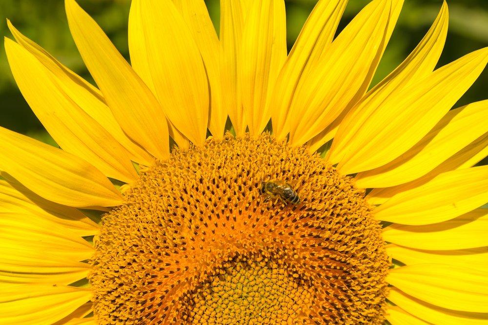 sunflower-2474661_1920.jpg