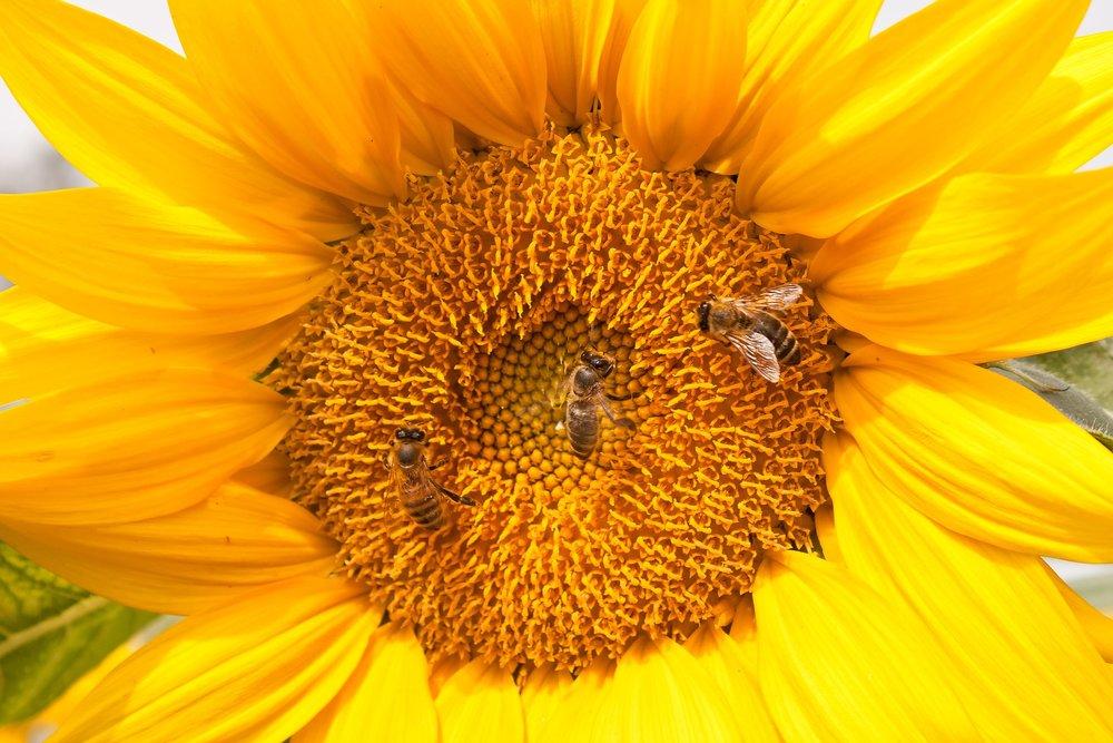 sunflower-2612187_1920.jpg