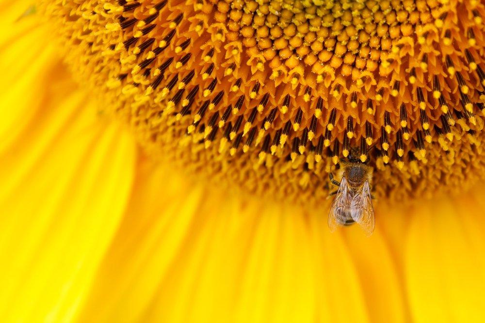 sunflower-2971594_1920.jpg