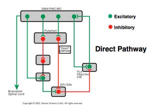 Basal Ganglia Circuit Diagram   How Does The Basal Ganglia Circuitry Change In Parkinson S Disease