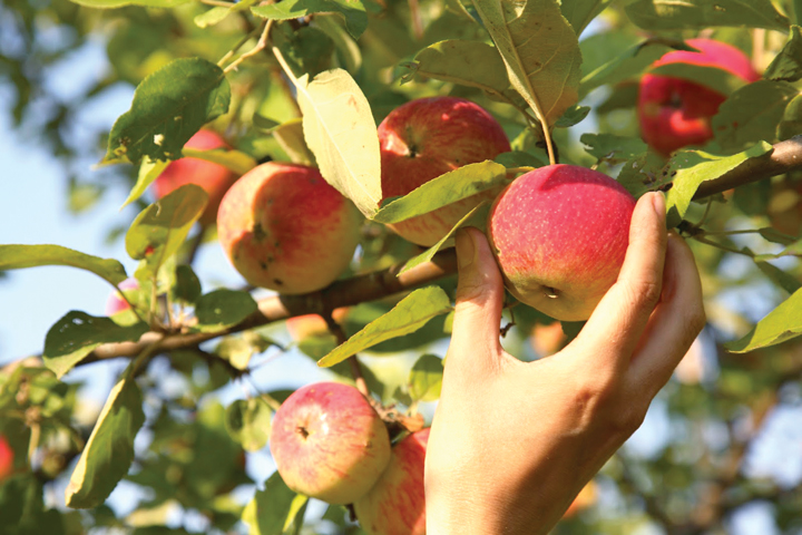 It's Apple-Picking Time - Explore Julian's Orchards this Fall…