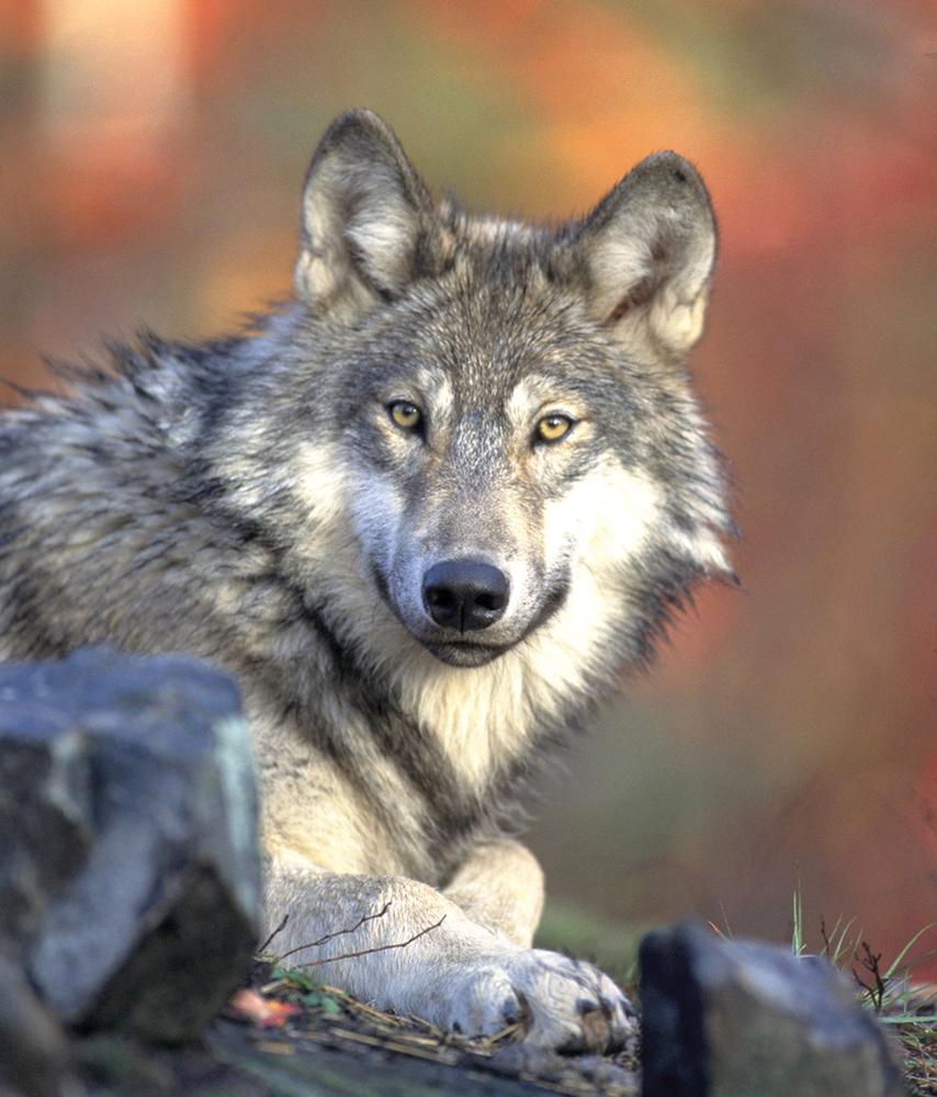 Gray wolf Photo Courtesy of California Wolf Center