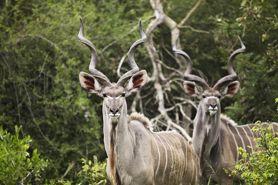 kudu-2112417_960_720.jpg