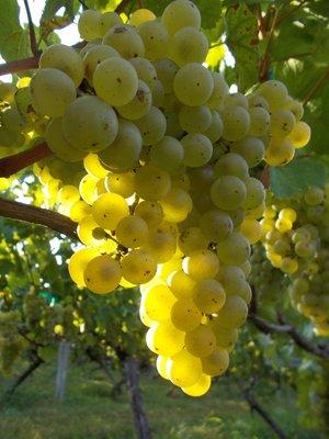 Chardonnay+jim+2500.jpg