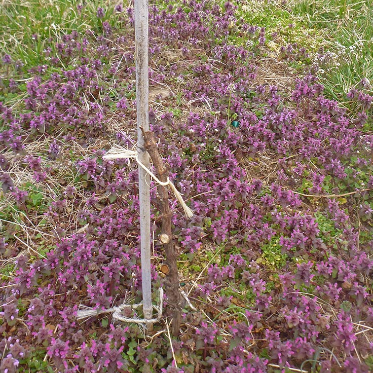 This dormant Cabernet vine is contrasted by a ground cover of purple deadnettle.