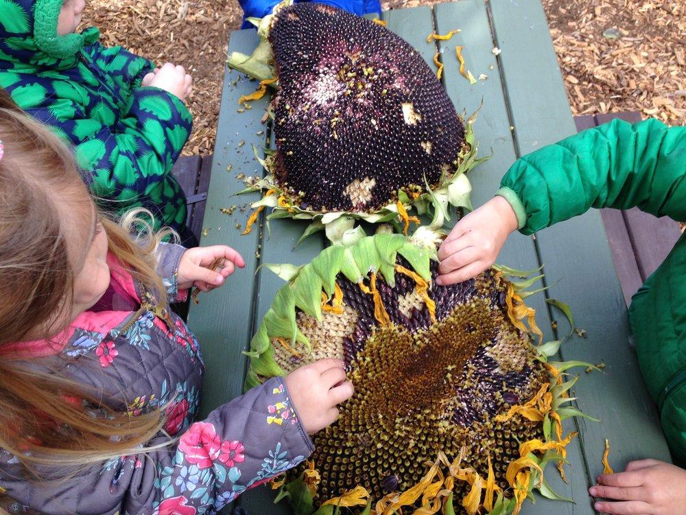 Children in the garden harvesting sunflower seeds.