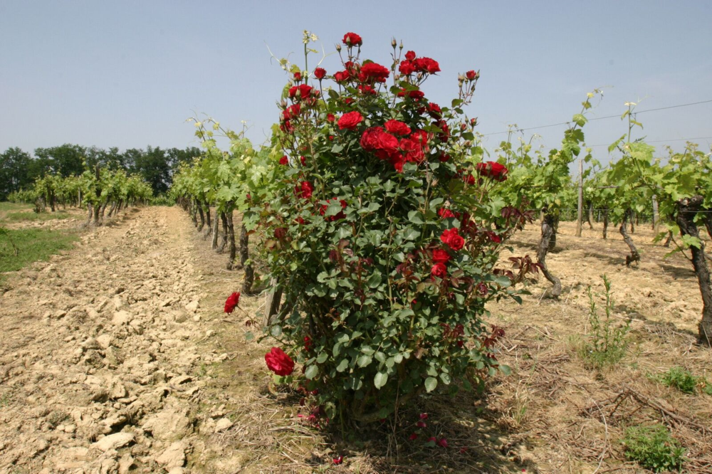 Vine and roses.png