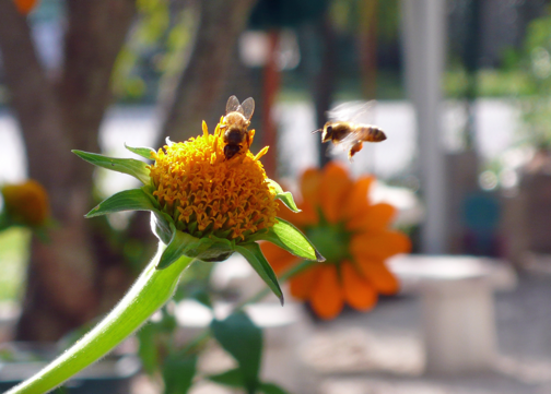 bee on mexican sunflower2.png