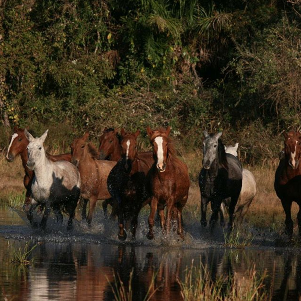 Horses charging through water