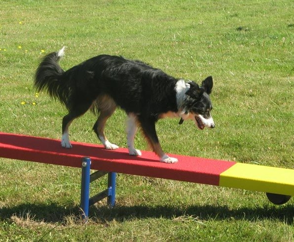 Agility/Sport/Utility Training - Agility, sport, and utility training is great for exercise and a great way to strengthen the bond and between you and your companion. Agility courses are designed to fulfill the hunting and chasing desires of your dog. Even though agility consists of obstacles such as a tunnel, teeter-totter, tire jump, weave poles, pause table, and standard jumps. It can also be used around the home for everyday situations such as crawling under a table, retrieving the remote, recovering mishandled keys. Teamwork is key when it comes to Agility/sport/utility training.
