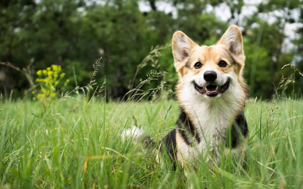 Happy Dog in the grass
