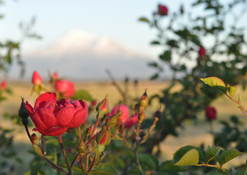 roses-and-mt-shasta.jpg