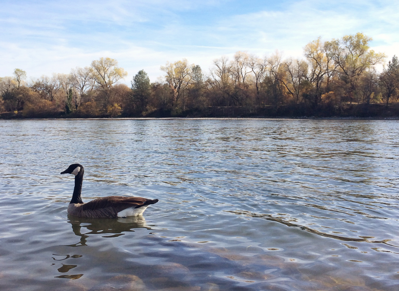 Duck friend on the Sacramento River, taken with iPhone 5s