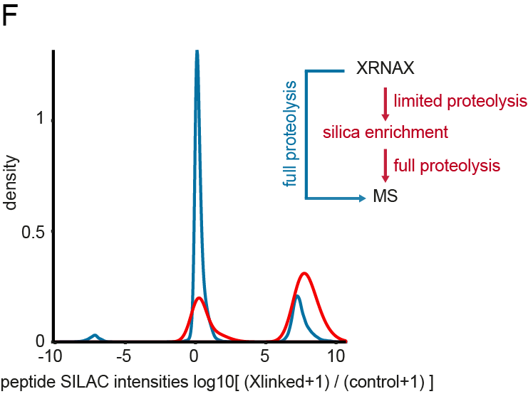 Figure 1F of the Cell manuscript. Same amounts of UV-crosslinked and non-crosslinked cells with different SILAC labels were combined and subjected to XRNAX or XRNAX and silica enrichment.