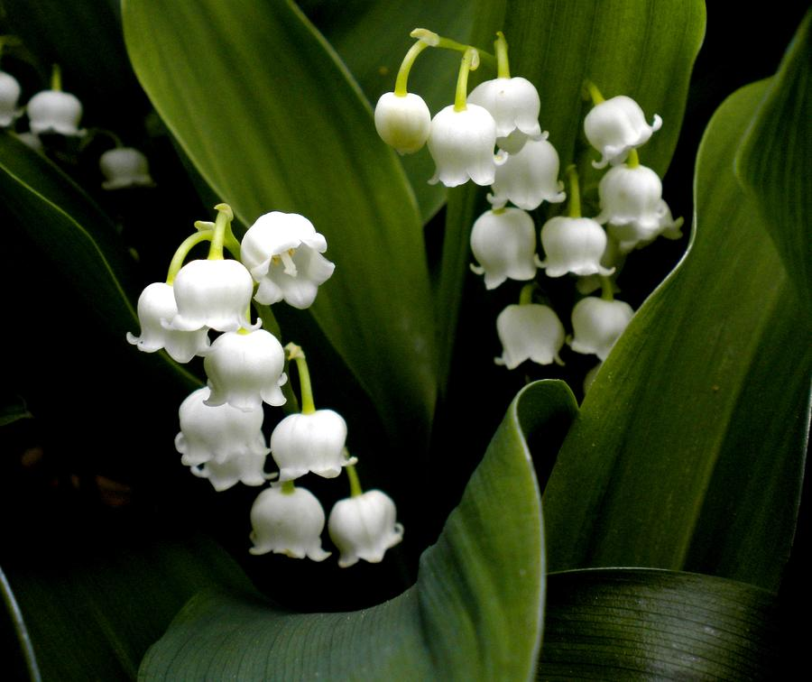 lily-of-the-valley-renate-nadi-wesley copy.jpg