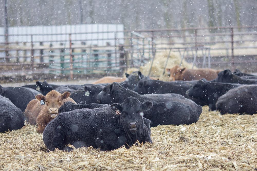 Bulls Snowy.jpg
