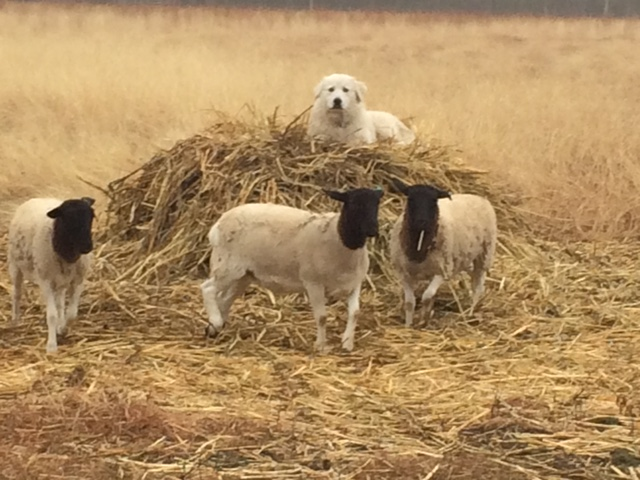 sheep-hay.JPG