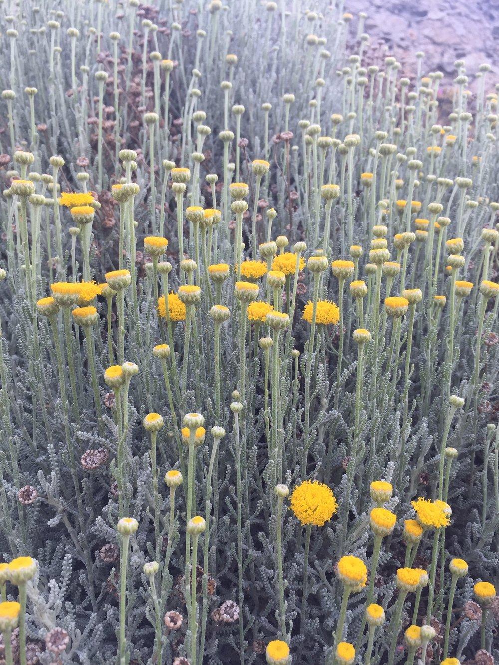 Flowers_SF_Lands_End.JPG