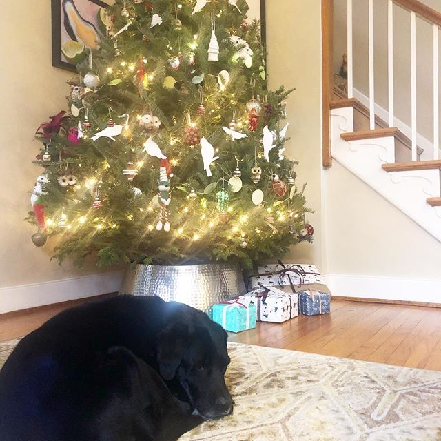 The best life. Napping by the tree. I spy some Riot + Revel gift wrap! 🎁🎄🐕