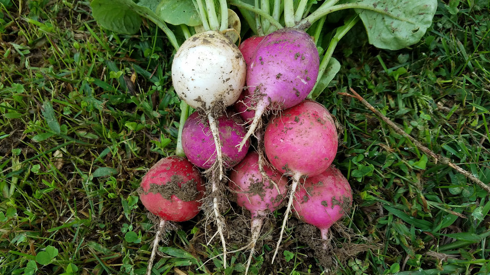 Freshly harvested radishes