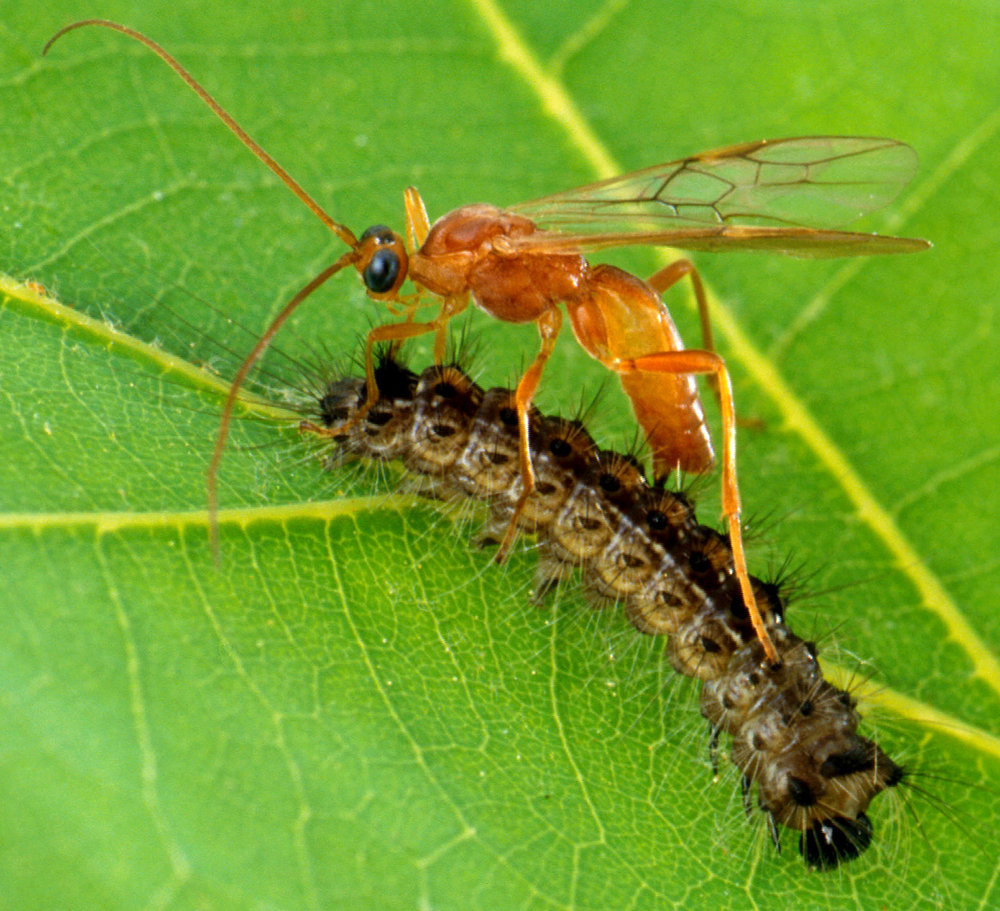 The Aleiodes indiscretus wasp laying eggs in a gypsy moth caterpillar. Almost every pest insect species has at least one wasp species that preys upon or parasitizes it.