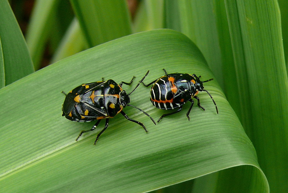 Harlequin cabbage bugs: an adult and nymph. Pheromones can also be used to bait plants and trap these insects