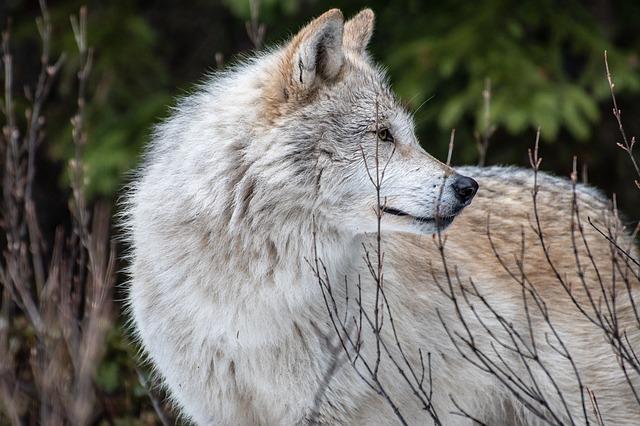 wolf-3696742_640.jpg