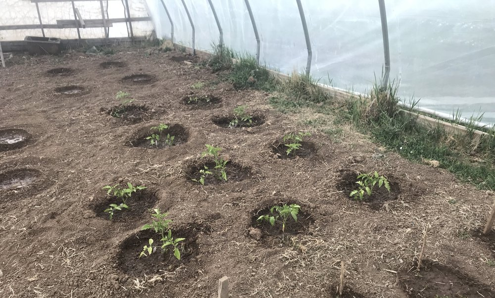 Tomatoes newly planted in the hoophouse