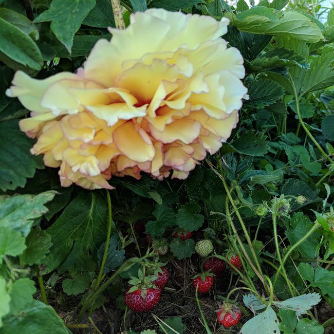 peonies and garden 3.jpg
