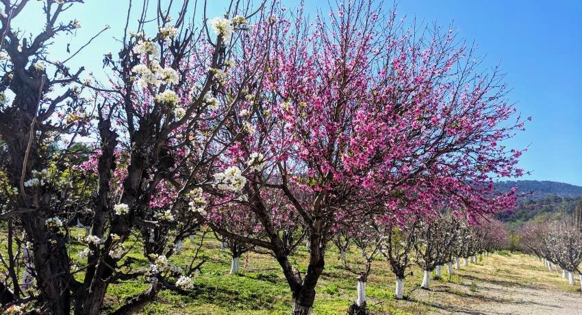 ojai orchard