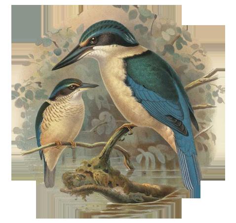 KingfisherParent.png