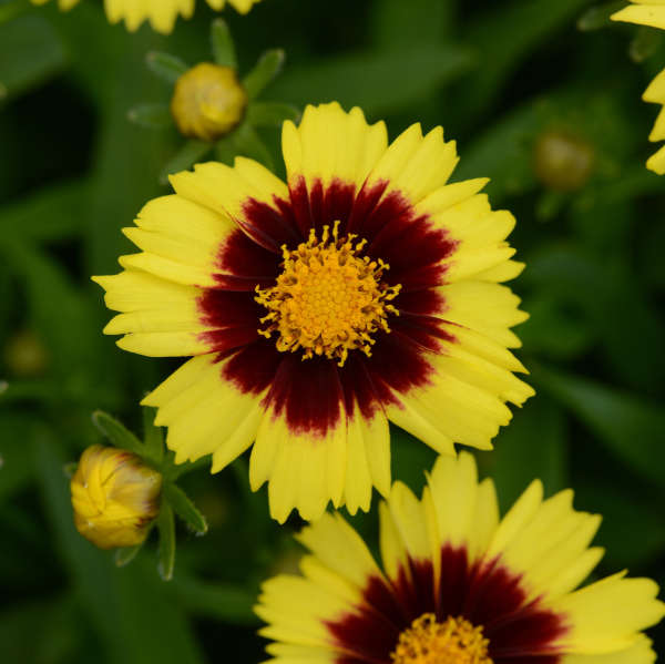 New for 2018 alwerdt gardens coreopsis uptick yellow amp red bright yellow flowers with a dark red center mightylinksfo
